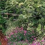 Split rail fence through evergreen shrub, Pittosporum tobira 'Variegata' in California country garden with flowering Erigeron and Erysium 'Bowles Mauve'; Michael Bates design