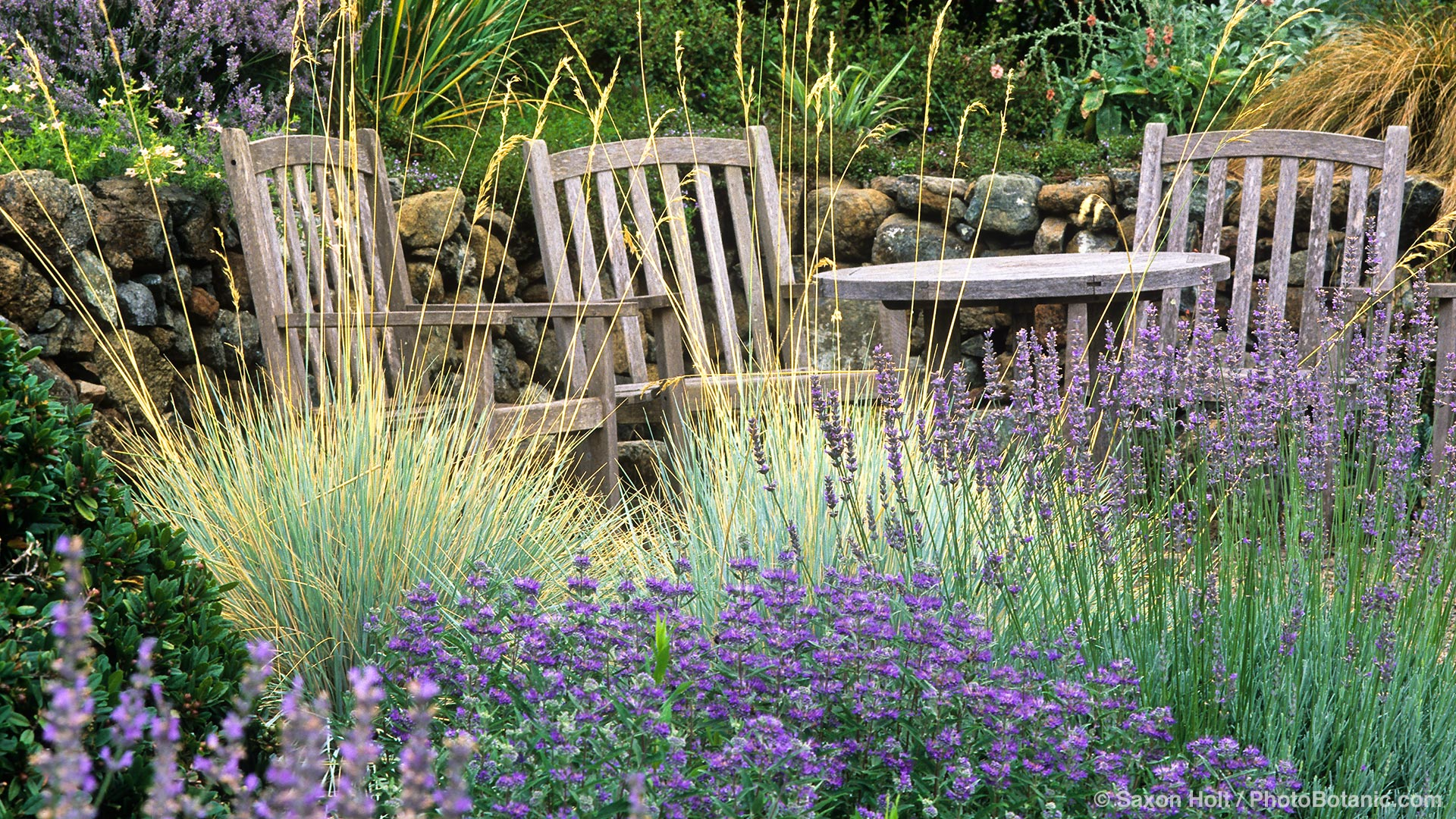 Helictotrichon sempervirens (Blue Oat Grass) in California garden with chairs