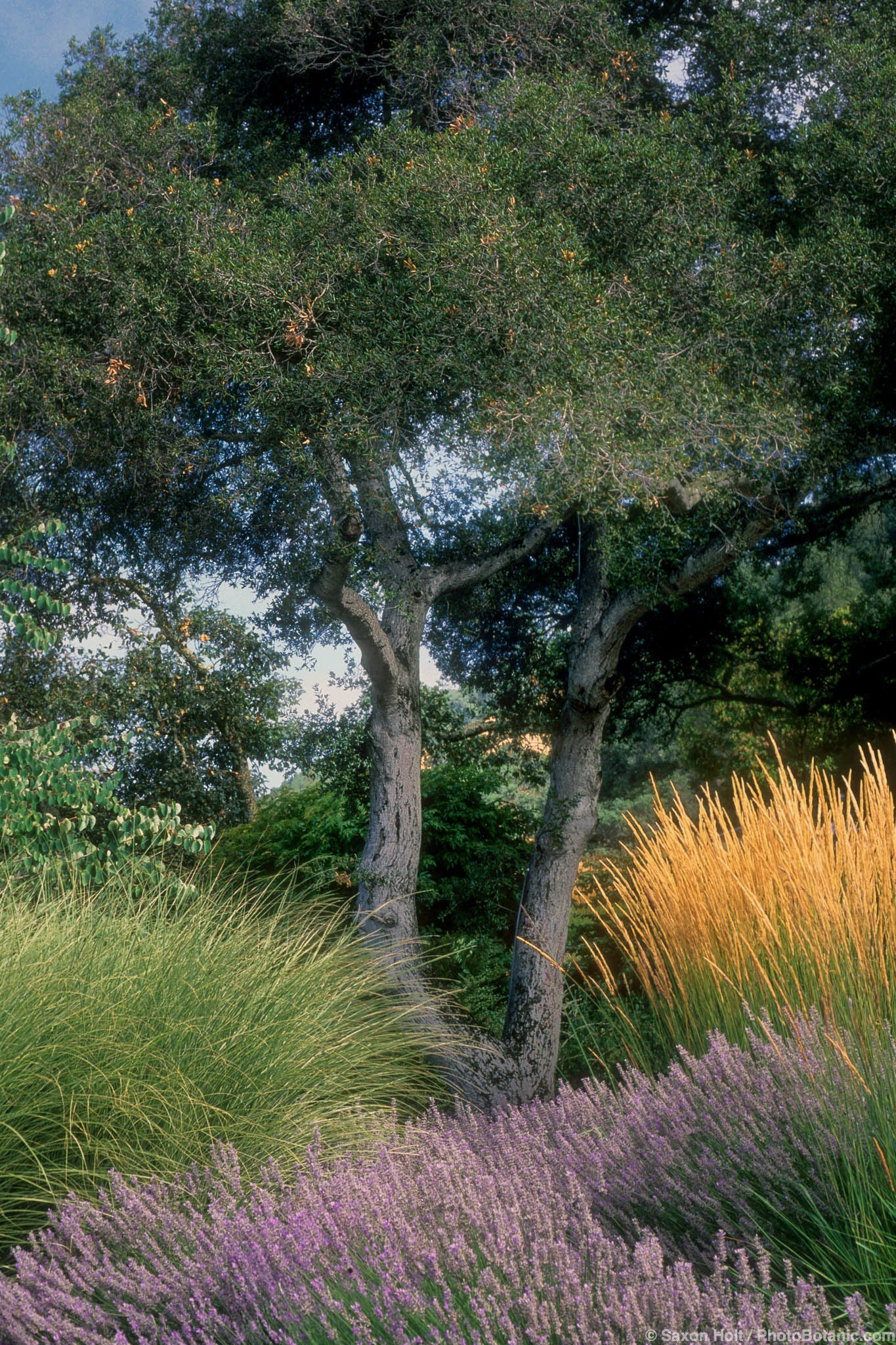 Coast Live Oak | Summer-Dry | Celebrate Plants in Summer-Dry Gardens