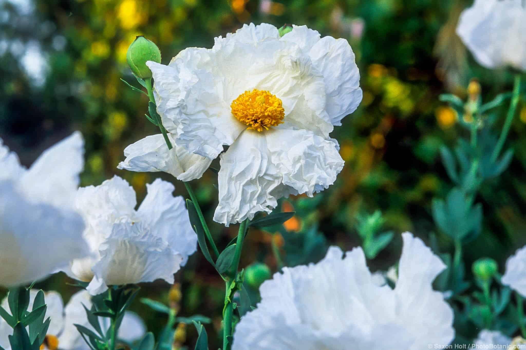 Matilija Poppy Summer Dry Celebrate Plants In Summer Dry Gardens