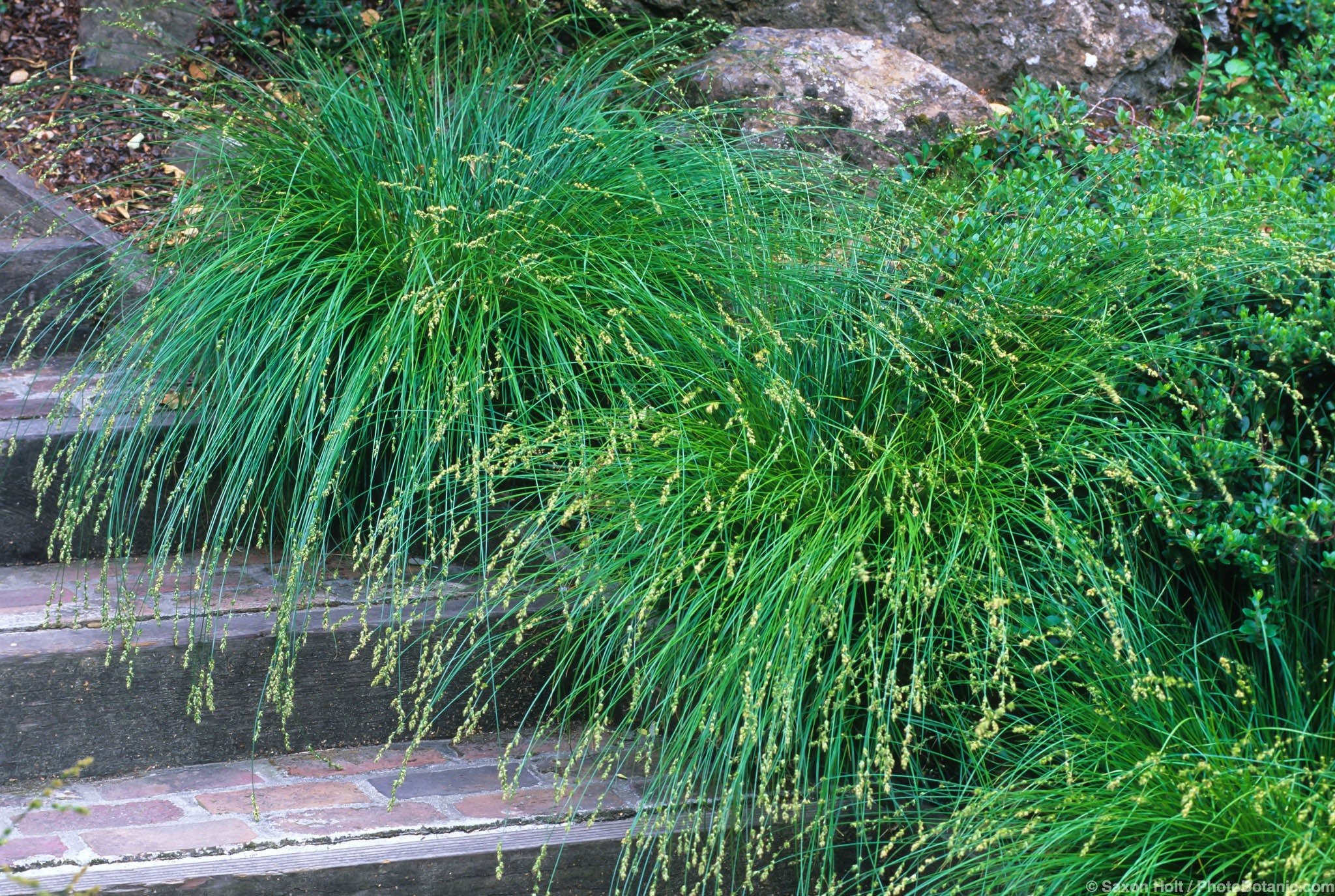 Picture of Live Berkeley Sedge aka Carex tumulicola (divulsa) Plant Fit 5 Gallon Pot