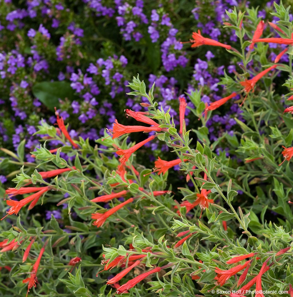 Perennials summer dry celebrate plants in summer dry gardens red flower zauschneria garrettii orange carpet california fuchsia drought tolerant perennial groundcover mightylinksfo