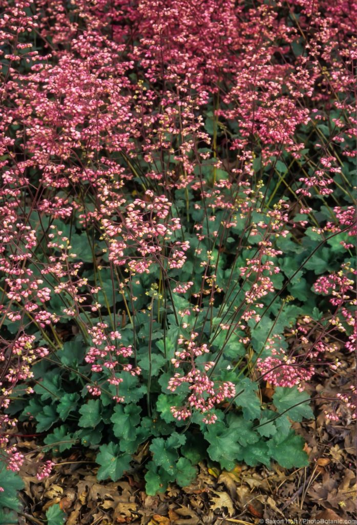 Heuchera 'Wendy', pink flowering native perennial Coral Bells