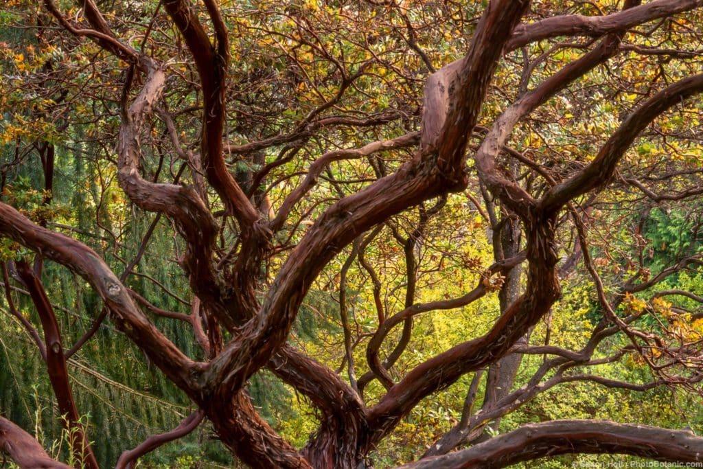 Arctostaphylos pajaroensis (Pajaro Manzanita) peeling mahogany bark shrub branches in Tilden California Native Plant Botanic Garden.