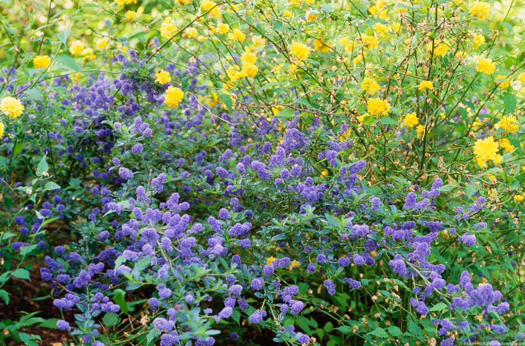 Ceanothus griseus horizontalis 'Yankee Point', blue flowering California Lilac shrub as groundcover