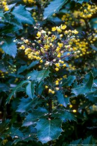 Mahonia aquifolium 'Golden Abundance' flower and leaf detail
