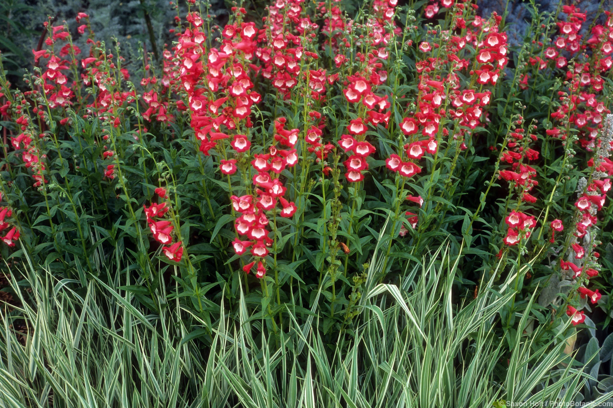 Shades Of Pink Penstemons Summer Dry Celebrate Plants In Summer Dry