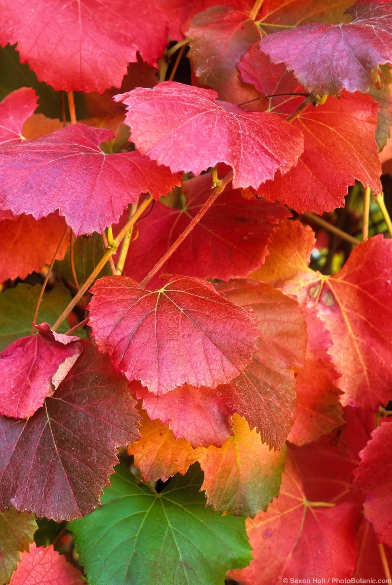 California Wild Grape Summer Dry Celebrate Plants In