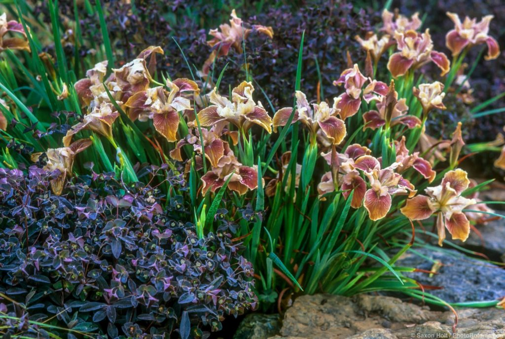 Pacific Coast Iris 'Copper' flowering in garden with Euphorbia dulcus 'Chameleon'