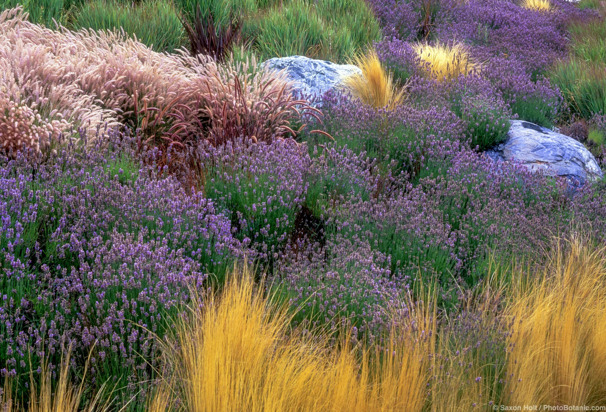 Perennials summer dry celebrate plants in summer dry for Grassy plants for landscaping