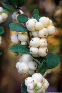Symphoricarpos albus (aka. S.racemosa) (Snowberry) white berries detail