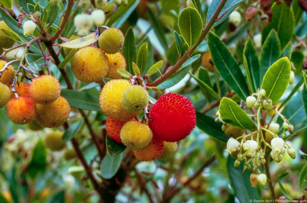 Arbutus unedo 'Elfin King' (Strawberry Tree) with fruit.