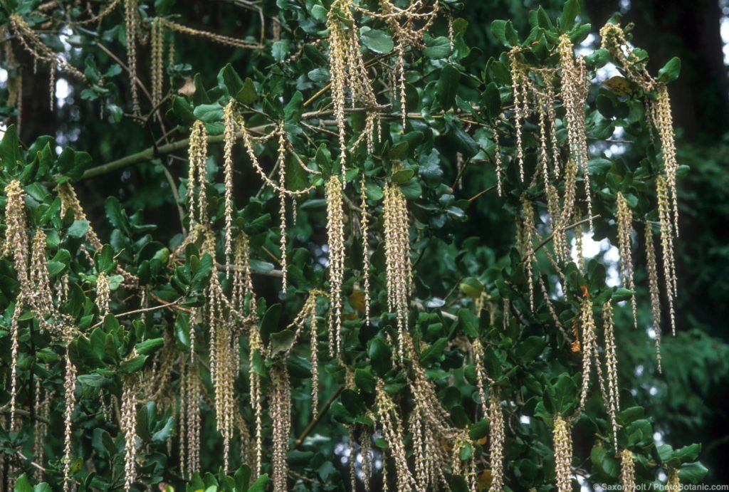 Garrya elliptica (coast silktassel) in bloom