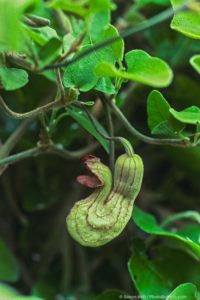 Aristolochia californica - Dutchman's Pipe, flowering California native plant