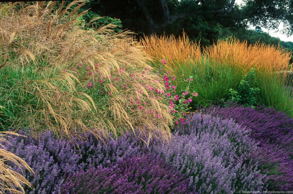 Miscanthus sinensis grass, Lavender, Lavatera and Calamagrostis acutiflora 'Karl Foerster' in drought tolerant garden border