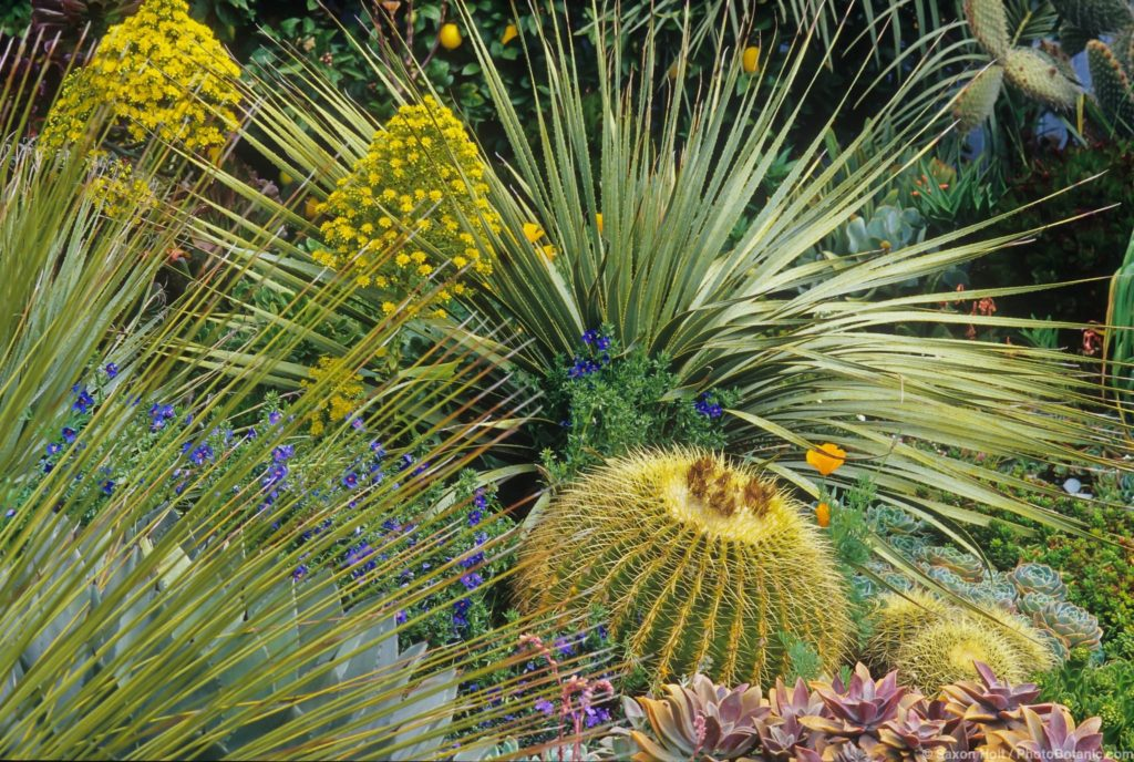 Dasylirion wheeleri in succulent border with barrel cactus.