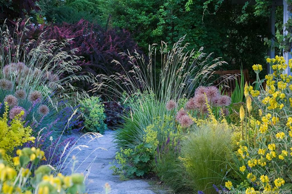 Path through waterwise mixed border demonstration garden with flowering Blue Oat grass, perennials and shrubs at Bellevue Botanic Garden, Washington