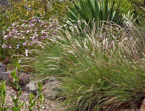 Mendocino Reed Grass