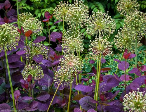Ornamental Alliums